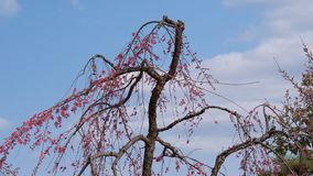 Weeping cherry tree in Japan. Weeping cherry tree with blue sky in Japan Royalty Free Stock Photo