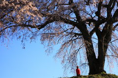 Weeping cherry tree Stock Photos