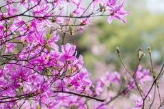 Weeping cherry tree Stock Image