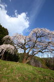 Weeping cherry tree Stock Photography