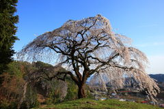 Weeping cherry tree Stock Images