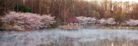 Weeping cherry tree on pond Royalty Free Stock Photo