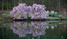Cherry Blossom Reflections Stock Photo
