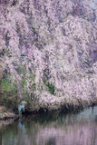 Cherry Blossom Reflections and Great Blue Heron Stock Images