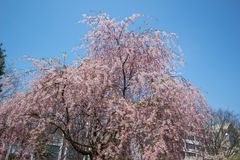 Weeping cherry treeShidarezakura at Morioka castle ruins parkIwate Park,Iwate,Tohoku,Japan.selective focus. Morioka Castle Ruins ParkIwate Park situated in stock images