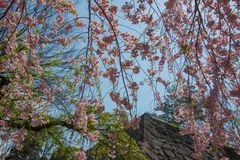 Weeping cherry treeShidarezakura and the stone walls at Morioka castle ruins parkIwate Park,Iwate,Tohoku,Japan. Morioka Castle Ruins ParkIwate Park situated in royalty free stock images