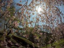 Weeping cherry treeShidarezakura and the stone walls at Morioka castle ruins parkIwate Park,Iwate,Tohoku,Japan. Morioka Castle Ruins ParkIwate Park situated in royalty free stock photos