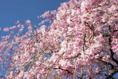 Weeping cherry under sky. Pink weeping cherry blossoms under blue sky Stock Photos