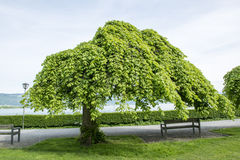 Weeping elm on lakeside. Weeping trees in Lindau on Lake Constance, Germany royalty free stock photos