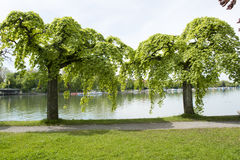 Weeping elms on Lake Constance Royalty Free Stock Photos