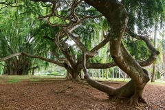 Weeping fig or Ficus benjamina Royalty Free Stock Image