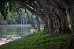 Weeping fig by the lagoon. Royalty Free Stock Photography