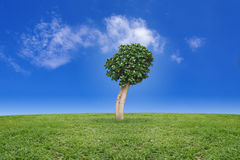 Weeping fig tree on green grass Stock Photos