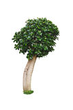 Weeping fig tree on white background. Ficus benjamina Stock Photo