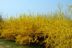 Weeping Forsythia. Thousands of yellow weeping forsythia in spring arboretum Royalty Free Stock Images