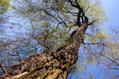 Weeping Golden Willow. Salix × sepulcralis tree commonly known as Weeping Golden Willow royalty free stock image