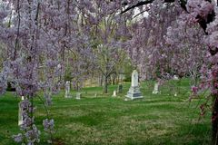Weeping Graves. Pink weeping cherry blooms cascading down to frame old gravestones and monuments stock photos