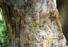 Weeping gum Royalty Free Stock Images