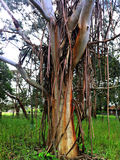 Weeping Gum Tree. Old gum tree shedding it's bark royalty free stock photos