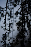 Weeping Japanese larch pine tree at dusk Royalty Free Stock Photography