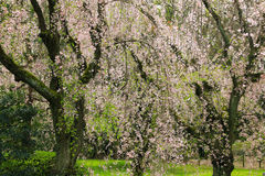 Weeping Japanese Sakura cherry blossom trees with pink flowers i Stock Photos