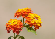 Weeping Lantana Royalty Free Stock Photos