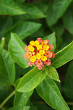 Weeping Lantana flower Royalty Free Stock Image