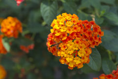 Weeping Lantana flower Royalty Free Stock Photos