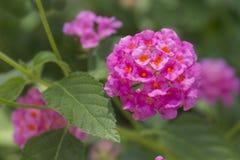 Weeping Lantana flower Royalty Free Stock Image