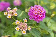 Weeping Lantana flower Royalty Free Stock Photography
