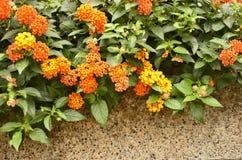 Weeping lantana flowers Stock Photo