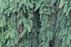Weeping Norway spruce background texture. Horizontal aspect Royalty Free Stock Image
