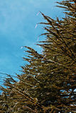 The weeping pine. In the cold wind, it tough to shelter from the cold Royalty Free Stock Photos