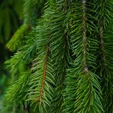 Weeping Pine Tree. An up close look at the branches of a Weeping Pine Tree stock photo