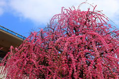 Weeping plum of Beppu park Royalty Free Stock Photography