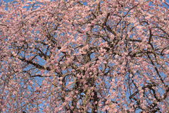 Weeping plum Royalty Free Stock Photography