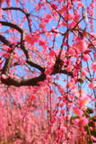 Weeping plum. And clear of weeping plum Royalty Free Stock Images