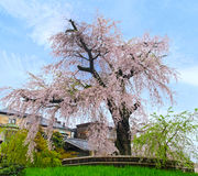Weeping Sakura Stock Photography