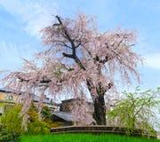 Weeping Sakura Stock Photography