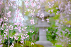 Weeping sakura garden view Stock Photo