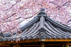 Weeping sakura infront of japanese temple Royalty Free Stock Photography