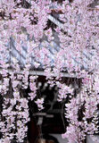 Weeping sakura with japanese temple Stock Image