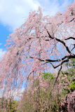 Weeping sakura tree Royalty Free Stock Photos