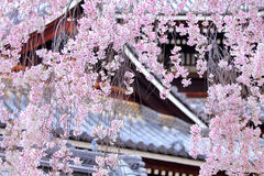 Weeping sakura tree with japanese temple Stock Image