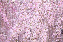 Weeping sakura Stock Images
