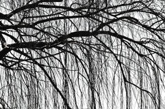 Weeping tree Royalty Free Stock Photography