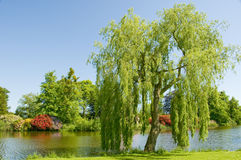 Weeping Willow. Tree on the bank of a river in the summer royalty free stock images