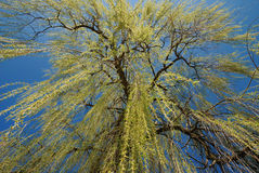 Weeping Willow. A weeping willow in spring royalty free stock photography