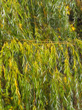 Weeping willow. Close-up of autumn weeping willow branches under bright sunlight, excellent autumn background Royalty Free Stock Photo