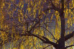 Weeping willow. (Salix babylonica) weeping willow in backlight royalty free stock photos